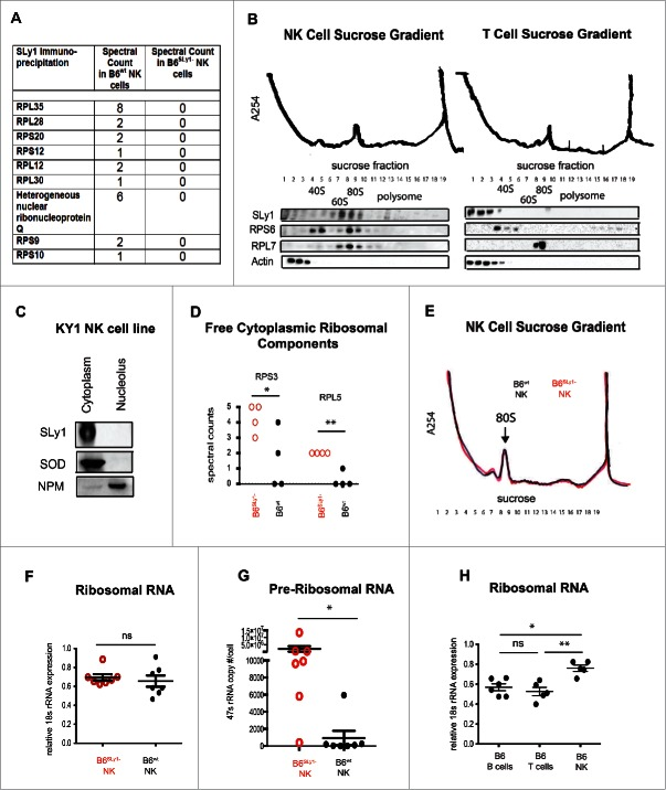 SLy1 contributes to ribosome stability in NK cells. (A) Mass spectroscopy of anti-SLy1 co-immunoprecipitation of B6 wt and B6 SLy1− NK cells. Proteins quantitated by spectral counts of peptides. Ribosomal proteins associated with the small 40S subunit are defined as RPS (ribosomal protein small), with the appropriate protein number after the RPS designation. Ribosomal proteins associated with the large 60S subunit are defined as RPL (ribosomal protein large), with the appropriate protein number after the RPL designation. (B) Sucrose density gradient fractionation and Western blot analysis of SLy1 localization of freshly isolated NK cells (left panel) and T lymphocytes (right panel). Representative of four separate experiments. (C) Western blot analysis of cytoplasm and nucleolar SLy1 in the KY1.1 NK cell line utilizing nucleophosmin (NPM) and superoxide dismutase (SOD) for nucleolar and cytoplasmic localization, respectively. (D) Spectral counts of free ribosomal components, not associated with the ribosome, in B6 SLy1− in B6 wt NK cells by mass spectroscopy. Comparison performed by t-test. (E) Sucrose density gradient fractionation with A254 absorbance evaluation of ribosome formation in freshly-isolated B6 wt (black) and B6 SLy1− (red) NK cells. Representative of three separate experiments. (F) RT-PCR of 18S rRNA expression in freshly isolated NK cells from B6 wt (black) and B6 SLy1− (red) mice. (G) RT-PCR analysis of 47S rRNA copy number in freshly isolated NK cells from B6 wt (black) and B6 SLy1− (red) mice. Comparison performed by unpaired t-test. (H) RT-PCR of 18S rRNA levels in freshly isolated T cells, B cells and NK cells from B6 mice. Expression normalized to β-actin. Comparison performed by One-way ANOVA followed by Bonferroni post-test. * p