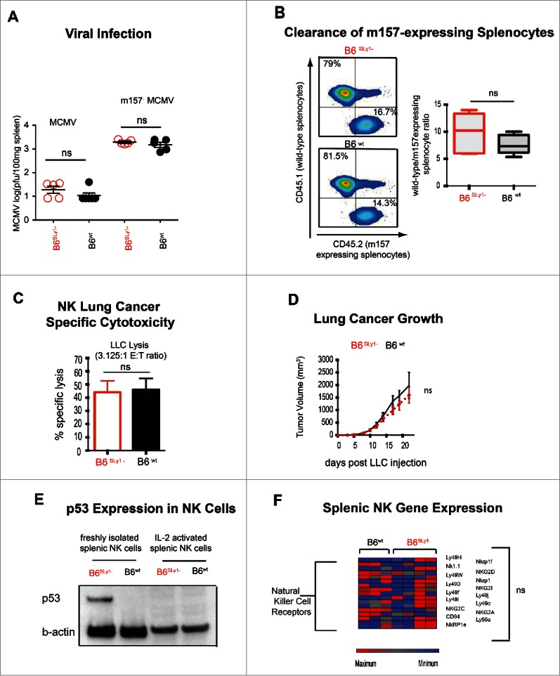 Phenotype of activated B6 SLy1− and B6 wt NK cells. (A) MCMV and m157 − MCMV viral titers in the spleens of B6 SLy1− (red) and B6 wt (black) mice seventy-two hours after infection. (B) In vivo clearance of B6 CD45.1+ wild-type or B6 CD45.2+ m157-expressing splenocytes injected into IL-2 treated B6 SLy1− (top) and B6 wt mice (bottom) recipient mice. Data derived from flow cytometric analysis of the spleen, demonstrating one representative experiment on the left and summary of five animals on the right. Comparison performed by unpaired t-test between ratios. (C) In vitro lysis of LLC at a 3.125:1 effector:target ratio with NK cells isolated from the spleens of B6 SLy1− (red) or B6 wt (black) mice and expanded in high dose IL-2 for one week in vitro . (D) Growth of LLC injected into the flank of B6 SLy1− (red line) and B6 wt mice (black line) treated with 10 doses of 75,000 IU of wild-type IL-2. Representative of two separate experiments with four mice per group per experiment. (E) Comparison of p53 levels in resting and IL-2 activated B6 SLy1− and B6 wt NK cells (representative of two separate experiments). (F) Relative mRNA expression of various activating receptors, adhesion molecules and signaling intermediates in IL-2 activated NK cells from B6 SLy1− and B6 wt mice.