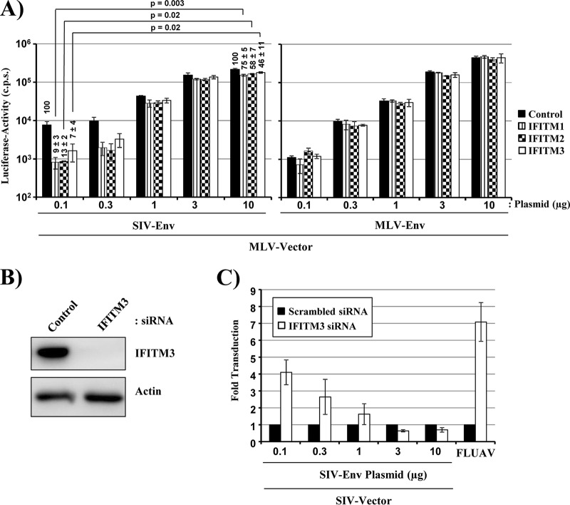 The efficiency of SIV-Env incorporation into virions determines IFITM sensitivity. (A) MLV vectors encoding luciferase and bearing escalating amounts of SIV-Env or MLV-Env were produced by transient transfection of 293T cells with equal amounts of vector plasmid and the indicated amounts of Env-encoding plasmids. Equal volumes of the vector preparations were then inoculated onto 293T cells previously transduced to express IFITMs, and luciferase expression in cell lysates was analyzed at 72 h postransduction. The results of a single representative experiment conducted with triplicate samples are shown. Error bars indicate SD. The results were confirmed in three separate experiments. Numbers above bars indicate the averages from four independent experiments for which transduction of control cells was set as 100%. Statistical analysis was carried out for normalized data. (B) sMAGI cells were transfected with the indicated siRNAs, and IFITM3 expression was analyzed by an immunoblot assay employing an IFITM3-specific antibody. Similar results were obtained in two separate experiments. (C) sMAGI cells transfected as described for panel B were transduced with MLV vectors bearing escalating amounts of SIV-Env, and transduction efficiency was determined as described for panel A. In addition, the cells were infected with FLUAV encoding Gaussia luciferase, and luciferase expression in culture supernatants was analyzed at 48 h postinfection. The average from three independent experiments (two for FLUAV) is shown. Error bars indicate SEM.