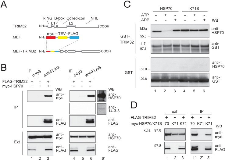 """Identification of HSP70 as a major binding partner of the overexpressed TRIM32 polypeptide. ( A ) Schematic representation of the human TRIM32 protein (upper) and its MEF-fused version (lower). ( B ) Association of TRIM32 and HSP70 as assessed with western blotting (WB). HEK293 cells were transfected with the FLAG-TRIM32 construct or the vector alone, with (lanes 1–3) or without (lanes 4–6) myc-HSP70. The lysates were separated with SDS-PAGE and western-blotted with anti-FLAG (for FLAG-TRIM32), anti-myc (for myc-HSP70), or anti-HSP70 (for endogenous HSP70) (lower panels, marked as """"Ext""""). FLAG-TRIM32 proteins were also immunoprecipitated from the lysates with nonimmune IgG (c-IgG) or anti-FLAG Sepharose beads (anti-FLAG). The immunoprecipitates were western-blotted with the aforesaid antibodies (upper panels, marked as """"IP""""). Lane 6′ represents lane 6 at a higher exposure. ( C ) HSP70 directly binds to TRIM32 depending on the specific nucleotide-binding state. Purified GST-TRIM32 or GST alone immobilized on agarose beads was incubated with purified HSP70 (lanes 1–3) or the K71S mutant protein (lanes 4–6) in the presence or absence of ATP or ADP, and then western-blotted with anti-HSP70 (for HSP70 and K71S) or anti-GST (for GST-TRIM32 and GST). """"+"""" and """"-"""" respectively indicate presence and absence of ATP/ADP. ( D ) FLAG-TRIM32-myc-HSP70/K71S-transfected HEK293 cells were co-immunoprecipitated to analyze the association between TRMI32 and K71S, as described in (B)."""