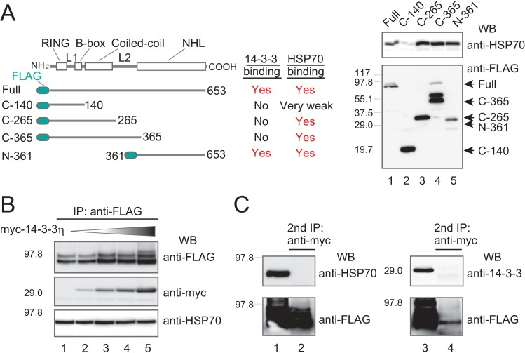 """The HSP70-TRIM32 complex is biochemically separate from the 14-3-3-TRIM32 phospho-complex. ( A ) HEK293 cells were transiently transfected with FLAG-TRIM32 or its truncated mutants, immunoprecipitated with anti-FLAG, then western-blotted with anti-HSP70 and anti-FLAG. The 14-3-3 binding data are from our previous study [ 8 ]. """"Full,"""" """"C-140,"""" """"C-265,"""" """"C-365,"""" and """"N-361"""" indicate the full TRIM32 protein and its truncated mutants. ( B ) HEK293 cells were transfected with FLAG-TRIM32, the PKA catalytic subunit, and increasing amounts of myc-14-3-3η (indicated by the shaded triangle above the western blot [WB]). Transfection was followed by immunoprecipitation with anti-FLAG, and then western blots, as described in (A). ( C ) The FLAG-TRIM32 complex shown in lane 5 of (B) was further subjected to immunoprecipitation with anti-myc Sepharose beads to purify the myc-14-3-3-FLAG-TRIM32 complex, and western-blotted with specific anti-HSP70 antibody to monitor endogenous HSP70 presence (left panel). The right panel shows the myc-HSP70-FLAG-TRIM32 complex with a western blot using anti-14-3-3 antibodies to monitor endogenous 14-3-3 presence."""