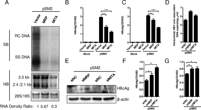 MITA/STING and MRP inhibited HBV replication in vitro . (A-C) The overexpression plasmid pFlag-MITA/STING or pHA-MRP was co-transfected with HBV plasmid pSM2 into Huh7 cells. (A) HBV DNA replicative intermediates (upper) and mRNAs (lower) were detected by Southern blot and Northern blot, respectively. HBV mRNA density signals on Northern blot were normalized to 18S/28S and showed as RNA density ratio. (B) Levels of HBeAg and (C) HBsAg secreted into supernatant were detected by ELISA after 5-fold dilution. Results were presented as the optical density at 450 nm (OD450). (D-G) siRNA specific to human MITA/STING or MRP was transfected into Huh7 for twice. pSM2 was cotransfected with siRNA at the second time. (D) Intracellular HBV core-associated DNA was extracted and quantified with real-time PCR. (E) Intracellular HBV core protein was detected by Western blot. (F) HBsAg and (G) HBeAg expressed in supernatant were diluted 5-fold and measured by ELISA. The dashed line represents the cutoff value (CoV), which was assumed to be 2.1-fold mean value of the negative samples. Significant differences were analyzed using a two-tailed unpaired t -test (*, P