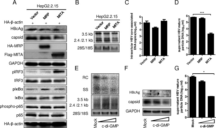 MITA/STING, MRP and c-di-GMP inhibited HBV replication in HepG2.2.15 cells. (A-E) The overexpression plasmid pHA-MRP, pFlag-MITA/STING or vector plasmid was transfected into HepG2.2.15 cells. The pHA-β-actin was cotransfected as an inner control. (A) The levels of HBV capsid, intracellular core antigen, pIRF3, IRF3, pIκBα, IκBα, phospho-p65, p65, MRP, MITA, GAPDH and β-actin were detected by immunoblotting with indicated antibodies. (B) The HBV mRNA replicative intermediates were detected by Northern blot. (C) Intracellular HBV core-associated DNA were extracted and quantified with real-time PCR. (D) The HBV mature particles in supernatant were immunoprecipitated with anti-HBs, and then HBV core-associated DNA were extracted and quantified with real-time PCR. (E-G) HepG2.2.15 cells were transfected with c-di-GMP of different concentrations and incubated for 24 h. (E) The HBV DNA replicative intermediates (upper) and mRNAs (lower) were investigated by Southern blot and Northern blot, respectively. (F) HBcAg (upper) and HBV capsid (lower) were immunoblotted with indicated antibody. (G) The supernatant HBV mature particles were immunoprecipitated and HBV core-associated DNA were extracted and quantified with real-time PCR. Significant differences were analyzed using a two-tailed unpaired t -test (*, P