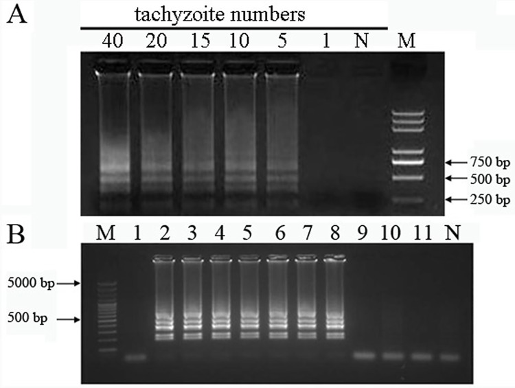 Sensitivity of the LAMP method. LAMP reactions were carried out using genomic DNA from various tachyzoite(s)mixed with 200 μL fresh human blood sample (A) and genomic DNA from single tachyzoite in PBS (B) as the template.