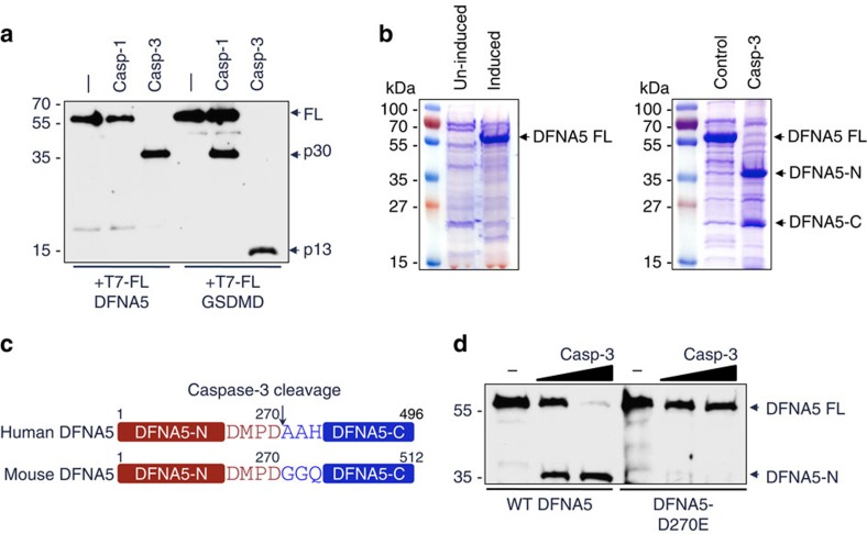Caspase-3 cleaves DFNA5 after Asp270. ( a ) Immunoblot of purified N-terminal His6-T7-tagged DFNA5 and GSDMD proteins incubated without (−) or with caspase-1 (casp-1) or caspase-3 (casp-3) for 45 min at 37 °C. The blot was probed with anti-T7 antibody. ( b ) Coomassie stained SDS-polyacrylamide gels of TALON-immobilized proteins from uninduced or IPTG-induced BL-21 pET28b-DFNA5 bacteria (left panel), or IPTG-induced BL-21 pET28b-DFNA5 bacteria incubated without (control) or with caspase-3 for 45 min (right panel). The caspase-3-generated N- and C-terminal DFNA5 fragments (DFNA5-N and DFNA5-C, respectively) are indicated. ( c ) Diagrammatic representation of human and mouse DFNA5 proteins showing the caspase-3 recognition motif at aa 267–270. ( d ) Immunoblot of purified N-terminal T7-tagged WT DFNA5 and DFNA5-D270E proteins incubated without (−) or with increasing amounts of caspase-3 for 45 min. The blot was probed with anti-T7 antibody. Results are representative of at least three independent experiments.