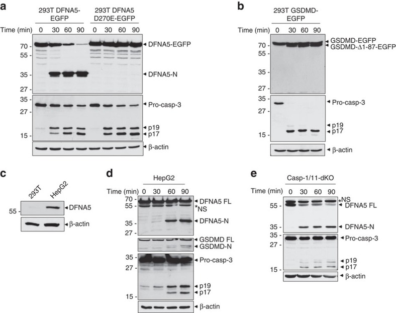 DFNA5 is cleaved by caspase-3 downstream of the Apaf-1 apoptosome. ( a , b ) Immunoblots of S100 lysates from stable 293T-DFNA5-EGFP and 293T-DFNA5-D270E-EGFP cells ( a ), or stable 293T-GSDMD-EGFP cells ( b ) stimulated with cytochrome c for the indicated times at 37 °C. The blots were probed with anti-DFNA5 ( a , upper), anti-GSDMD ( b , upper), anti-caspase-3 ( a , b , middle) or anti-β-actin ( a , b , lower) antibodies. ( c ) Immunoblot of endogenous DFNA5 in 293T and HEPG2 total cell lysates. ( c , d ) Immunoblots of S100 lysates from human HEPG2 ( d ) or mouse casp-1/casp-11-double knockout (casp-1/11-dKO) ( e ) macrophages stimulated with cytochrome c for the indicated times at 37 °C. The blots were probed with anti-DFNA5 (upper in d , e ), anti-GSDMD (second from top in d ), anti-caspase-3 (third from top in d , middle in e ) or anti-β-actin (fourth from top in d , lower in e ) antibodies. Asterisk indicate non-specific band (NS). Results are representative of at least three independent experiments.