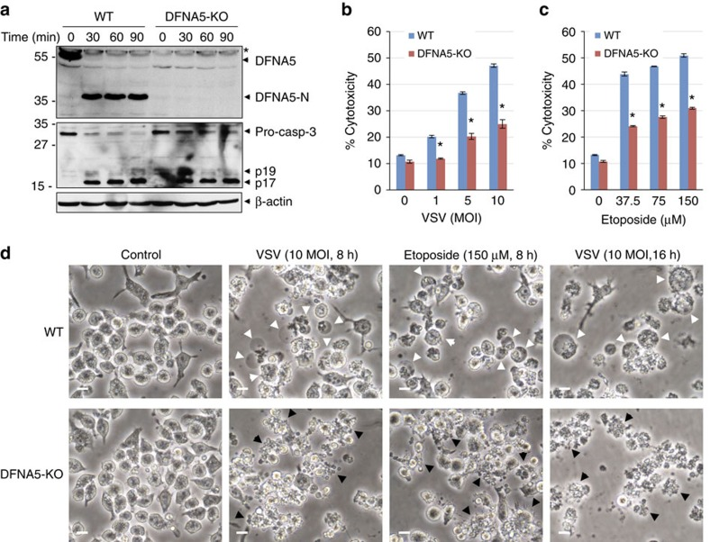Knockout of DFNA5 reduces secondary necrosis in macrophages. ( a ) Immunoblots of S100 lysates from DFNA5 +/+ (WT) and DFNA5 −/− (DFNA5-KO) macrophages stimulated with cytochrome c for the indicated times at 37 °C. The blots were probed with anti-DFNA5 (upper), <t>anti-caspase-3</t> (middle) or anti-β-actin (lower) antibodies. Asterisk indicate non-specific band (NS). ( b , c ) Cytotoxicity of VSV ( b ) ( n =3) and etoposide ( c ) ( n =3) as measured by LDH release in the culture supernatants of DFNA5 +/+ (WT) and DFNA5 −/− (DFNA5-KO) macrophages infected with VSV or treated with etoposide for 8 h. * P