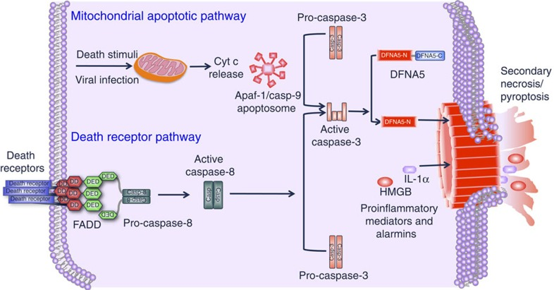 Signalling pathways leading to activation of DFNA5. Various death stimuli or viral infection can lead to permeabilization of the outer mitochondrial membrane causing the release of cytochrome c, which binds to Apaf-1 leading to assembly of the Apaf-1 apoptosome and activation of caspase-9. Within this complex active caspase-9 cleaves procaspase-3 to generate the active caspase-3 heterodimer. Active caspase-3 in turns cleaves DFNA5 at Asp270 to generate the necrotic DFNA5-N fragment which permeabilizes the plasma membrane by forming large pores causing osmotic lysis of the cell and releasing cellular contents including pro-inflammatory mediators and alamins, into the extracellular space. Caspase-3 can also be activated by the death receptor pathway, which is activated by death receptor ligands at the cell membrane. This pathway can potentially lead to caspase-3-mediated processing of DFNA5 and secondary necrosis.