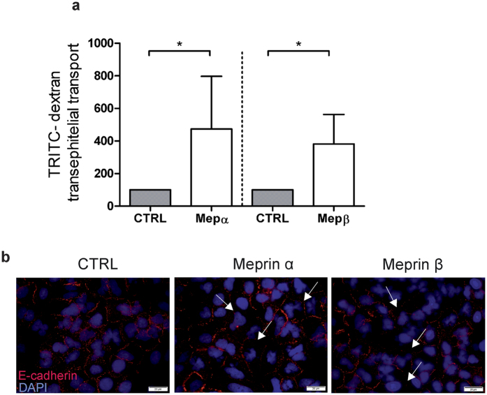 Meprins are important for epithelial monolayer integrity. ( a ) Addition of 40 nM activated human recombinant <t>meprin</t> α and meprin β increased TRITC-dextran permeability of A549 cells (*p