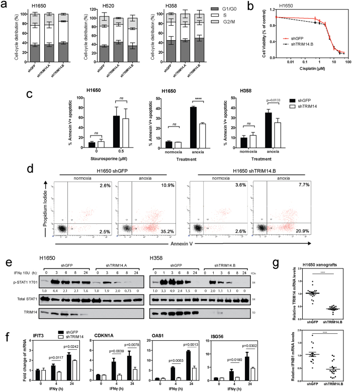 TRIM14 sensitizes NSCLC cells to anoxic-induced cell death and Type II interferon response. ( a ) Cell cycle progression of isogenic cell lines was assessed by flow cytometry after propidium iodide (PI) staining to determine the percent distribution of G1, S or G2/M-phase cell populations. ( b ) MTS assay was used to measure cell viability of H1650 cells treated with serial dilutions of cisplatin for 48 hours. ( c ) H1650 and H358 cells cultured for 48 hours with a protein kinase inhibitor, Staurosporine (0.5 μM), or under anoxic conditions were fixed and stained for Annexin-V and PI. Flow cytometry was subsequently used to quantitate the percentage of Annexin-V positive cells after treatment. ( d ) Representative flow cytometry analysis of H1650 cells cultured with or without anoxic conditions. ( e ) H1650 and H358 cells were treated with or without 10 U IFNγ for indicated times. Phosphorylation of STAT1 at tyrosine 701, total STAT1 and TRIM14 expression were analyzed by immunoblotting. ( f ) Quantitative RT-PCR using RNA extracted at 4 and 24 hours after IFNγ treatment showed increased transcript levels of ISG56, P21, IFIT1, and OAS1 as compared to untreated cells, but this effect was significantly suppressed in TRIM14-deficient cells. ( g ) Quantitative RT-PCR was used to show that mRNA levels for TRIM14 and IFNB1 were significantly reduced in H1650 xenograft tumors compared to controls (n = 8 tumors with two technical replicates each). Results shown represent more than three biological replicates. (Two-tailed student's t-test; ****p