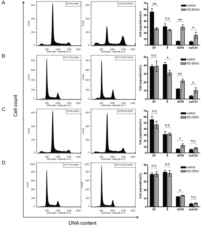 Knockdown of SKA3 or DSN1 inhibits cell cycle progression HT29 and HCT116 cells were transfected with control siRNA or target siRNA. A typical result of cell cycle distribution analysis is presented, with control siRNA in the left column and target RNA in the middle column. Quantification of the results of three independent experiments is presented in the right column. The percentages of cells at each cell cycle phase are shown as mean ± SD. A. SKA3 knockdown decreased the G1 phase population, increased the G2/M population, and increased the sub-G1 population in HT29 cells. B. SKA3 knockdown decreased the S phase population, increased the G2/M population, and increased the sub-G1 population in HCT116 cells. Knockdown of DSN1 increased G2/M arrest in C. HT29 cells and D. HCT116 cells. (* p