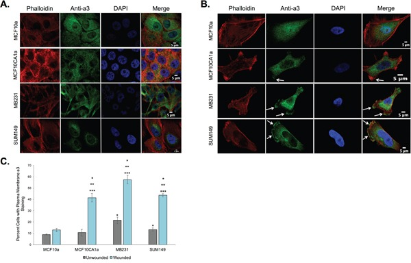 Subunit a3 localizes to the plasma membrane of human breast cancer cells MCF10a, MCF10CA1a, MB231, and SUM149 cells were grown to confluence on poly-d-lysine coated coverslips. To assess the effects of cell migration on a3 localization, a wound was made in the cell monolayer and cells were allowed to migrate for 4 h. Cells were then fixed, permeabilized, and immunostained using antibodies against subunit a3 of the V-ATPase and Alexa Fluor® 568 phalloidin to stain actin followed by incubation with secondary antibodies as described under Materials and Methods. Images were taken with identical exposure times and antibody concentrations. A. Shown are representative images of confluent MCF10a, MCF10CA1a, MB231, and SUM149 cells stained for phalloidin ( left ), subunit a3 (second from left ), DAPI ( second from right ), and the merged images ( right ). B. Shown are representative images of MCF10a, MCF10CA1a, MB231, and SUM149 cells (with monolayer wounded) stained for phalloidin ( left ), subunit a3 (second from left ), DAPI ( second from right ), and the merged images ( right ). White arrows indicate plasma membrane subunit a3. C. Quantification of plasma membrane staining for subunit a3 in confluent or migrating cells. To quantitate plasma membrane staining, 50-80 cells from three separate experiments were counted and the number of cells showing plasma membrane a3 localization was determined. The graphed data represents the percentage of cells showing a3 localization to the plasma membrane. All error bars indicate S.E. *, p