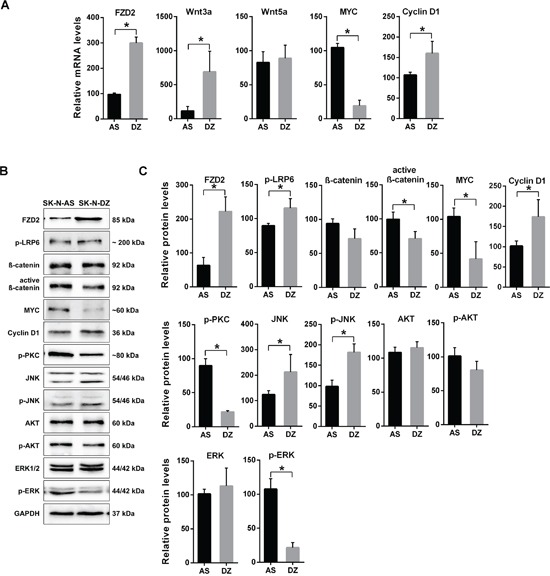 Characterization of gene expression in MYCN -unamplified SK-N-AS and MYCN -amplified SK-N-DZ NB cells A. Graphs show the results of qRT-PCR for FZD2, Wnt3a, Wnt5a, MYC and cyclin D1 performed on RNA from human SK-N-AS (AS) and SK-N-DZ (DZ) NB cells. FZD2 , Wnt3a , MYC and cyclin D1 mRNA expression is different between SK-N-AS and SK-N-DZ cells. B. Representative Western blot images and C. quantitative determination of protein expression in SK-N-AS and SK-N-DZ cells. Untreated cells were harvested to analyze the levels of FZD2, phospho-LRP6 (LRP6 phosphorylated at Ser1490; p-LRP6), total β-catenin, active β-catenin (non-phospho β-catenin; Ser33/37/Thr41), MYC, cyclin D1, pan-phospho-PKC, (βII Ser660; p-PKC), total JNK, phospho-JNK (JNK phosphorylated at Thr183/Tyr185; p-JNK), total AKT, phospho-AKT (AKT phosphorylated at Ser473; p-AKT), total ERK and phospho-ERK (ERK1/2 phosphorylated at Thr202/Tyr204; p-ERK) by Western blotting. Comparison of protein expression profiles between SK-N-AS and SK-N-DZ cells revealed differences in basal expression and activation levels of investigated signaling proteins. Graphs represent the mean of 3 independent experiments ± SD (* P