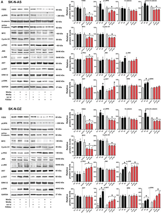 Wnt3a and Wnt5a signal via FZD2 in NB cell lines Representative Western blot images and quantification of immunoblots. SK-N-AS A. and SK-N-DZ B. NB cells were left untreated (Control; Co) or treated with Wnt3a (3a) and Wnt5a (5a) for 15 min, with or without FZD2 siRNA (si) pretreatment. Nonspecific scrambled siRNA (scr si, scrCo) served as an additional control. Then cells were harvested to analyze the levels of FZD2, phospho-LRP6 (LRP6 phosphorylated at Ser1490; p-LRP6), total β-catenin, active β-catenin (non-phospho β-catenin; Ser33/37/Thr41), MYC, cyclin D1, pan-phospho-PKC, (βII Ser660); p-PKC), total JNK, phospho-JNK (JNK phosphorylated at Thr183/Tyr185; p-JNK), total AKT, phospho-AKT (AKT phosphorylated at Ser473serine-473; p-AKT), total ERK and phospho-ERK (ERK1/2 phosphorylated at Thr202/Tyr204; p-ERK) by Western blotting. Activation levels of signaling factors associated with β-catenin-dependent signaling pathway (p-LRP6, active β-catenin) and β-catenin target genes (MYC, cyclin D1) were reduced below baseline levels in Wnt stimulated and unstimulated NB cells pretreated with FZD2 siRNA in contrast to activation levels of signaling factors associated with β-catenin-independent signaling (p-PKC, p-AKT, p-JNK, p-ERK). Graphs represent the mean of 3 independent replicates ± SD. Asterisks (*) indicate P