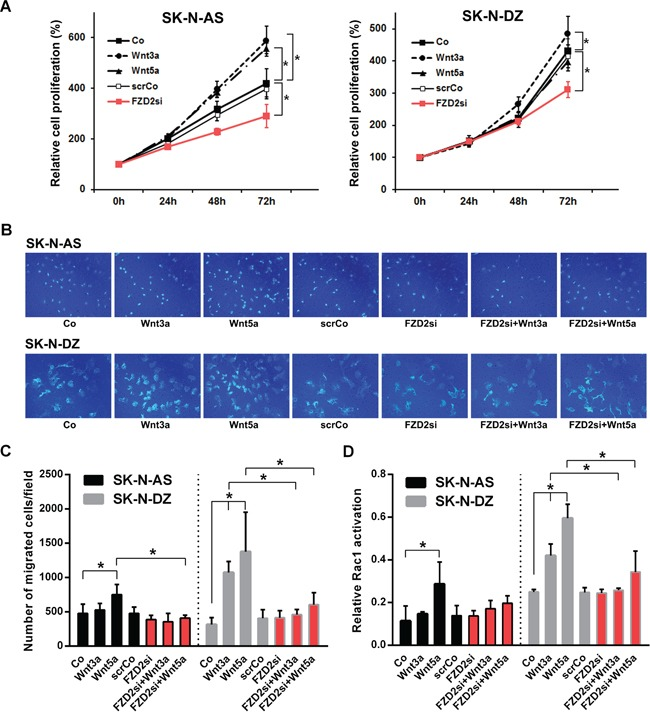 Effects of Wnt3a and Wnt5a stimulation and FZD2 blockade on cell proliferation, migration and Rac1 activity in NB cells A. Relative density of cancer cells up to 72 h following stimulation with 100 ng/ml recombinant Wnt3a, Wnt5a or pretreatment with FZD2 siRNA (FZD2si) or nonspecific scrambled siRNA (scrCo) was measured using the WST-1 cell proliferation assay. FZD2 siRNA suppressed NB cell proliferation. Graphs represent the mean of 3 independent experiments ± SD. Asterisks (*) indicate P