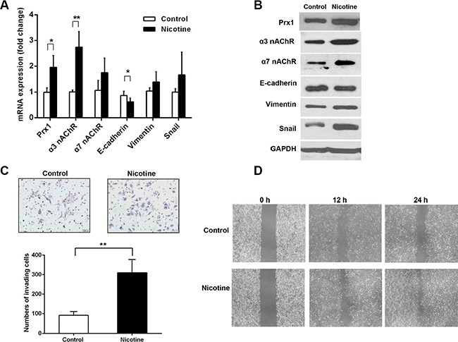 Nicotine up-regulates Prx1, α3 nAChR and α7 nAChR, enhances EMT, and promotes invasion and migration in SCC15 cells ( A ) mRNA expression of Prx1, α3 nAChR, α7 nAChR, E-cadherin, vimentin and Snail in control and nicotine-treated SCC15 cells; ( B ) representative blots from one of three separate experiments for the protein expression of Prx1, α3 nAChR, α7 nAChR, E-cadherin, vimentin and Snail in control and nicotine-treated SCC15 cells; ( C ) images of invading control and nicotine-treated SCC15 cells detected by Matrigel invasion assay (upper panel) and statistical analysis (lower panel); and ( D ) wound healing assay to examine the effect of nicotine on SCC15 cell mobility. The values are expressed as the mean ± SE. * P