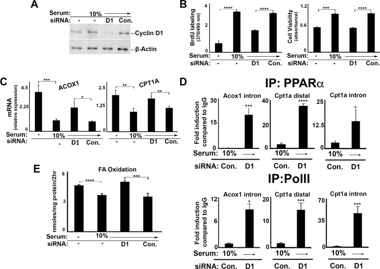 Cyclin D1 inhibits PPARα and fatty acid oxidation in liver cancer cells HepG2 cells were cultured in the presence or absence of serum and siRNA as indicted, and harvested after 72 hr. ( A ) Western blot. ( B ) DNA synthesis and cell viability ( C ) PPARα-mediated transcript expression. ( D ) Chromatin Immunoprecipitation (ChIP) using antibodies to PPARa (top) and PolII (bottom). ( E ) Fatty acid oxidation.