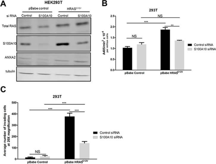 The S100A10 plasminogen receptor plays a major role in oncogenic RAS-dependent plasminogen activation ( A ) 293T cells stably expressing empty vector (pBabe control) or oncogenic HRAS G12V (HRASG12V) were transfected with 4 μM of pre-designed siRNA (Ambion) specific for S100A10 (S100A10 siRNA) and a non-silencing siRNA control (siRNA control) using Lipofectamine 2000 transfection reagent as per manufacturer's instructions (Invitrogen). Cell lysates were prepared 48 hours after transfection, and total levels of S100A10 and RAS were examined by Western blotting. ( B ) 48 hours after transfection, 25,000 cells were plated in 96 well plates and incubated overnight. Cells were washed 3 times with incubation buffer (Hanks balanced salt solution containing 3 mM CaCl 2 and 1 mM MgCl 2 ) and incubated with 0.5 μM glu-plasminogen for 20–30 minutes before the addition of 500 μM plasmin substrate S2251. The rate of plasmin generation was measured from the A405 nm vs min 2 progress curves ( N = 4). ( C ) 48 hours after transfection, 100,000 cells were plated on the upper chamber of matrigel coated inserts (BD Biosciences) and incubated in serum free medium containing 0.5 μM plasminogen for 48 hours. The lower chamber contained medium with 10% fetal bovine serum (FBS) as a chemoattractant. Invading cells were fixed with methanol and stained with Hematoxylin and Eosin. Cells were quantified by manual counting using a light microscope (20X). Data are expressed as mean number of cells invading per 20× field (5 fields/experimental condition) in duplicates. The plot is representative of three independent experiments. Statistical analysis was performed by two-way ANOVA with Tukey test of significance.
