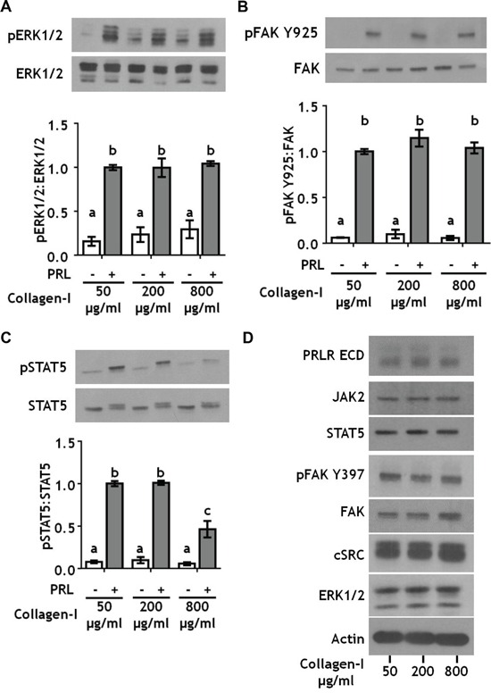 Collagen ligand density does not modulate PRL signals to ERK1/2 or FAK A-C. T47D were cells plated on 25 kPa polyacrylamide gels coated with either 50, 200, or 800 μg/ml collagen-I, serum starved for 24h, then treated ± PRL (4 nM) for 15 min. Cell lysates were immunoblotted with the indicated antibodies. Top panels: Representative immunoblots. Bottom panels: Quantification of immunoblots by densitometry. Means ± S.E.M. n = 3. Different letters represent significant differences between treatments, p