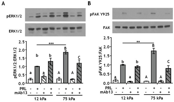 Blocking β1-integrin decreases PRL signals to pERK1/2 and pFAK Y925 in stiff environments A-B. T47D cells were plated on 12 or 75 kPa polyacrylamide gels coated with 200 μg/ml collagen-I, serum starved for 24h, then treated with isotype control antibody (−) or β1-integrin blocking antibody mAb13 (+) for 1 h prior to ± PRL (4 nM) for 15 min. Cell lysates were immunoblotted with the indicated antibodies. Top panels: Representative immunoblots. Bottom panels: Quantification of immunoblots by densitometry. Means ± S.E.M., n = 4. Different letters represent significant differences within each stiffness (lower case, 12kPa; upper case, 75kPa), p