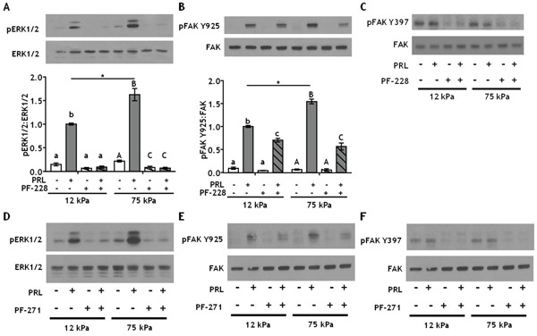 Inhibiting integrin activated FAK at Y397 more efficiently decreases PRL signals to pFAK Y925 in stiff environments A-B. T47D cells were plated on 12 or 75 kPa polyacrylamide gels coated with 200 μg/ml collagen-I, serum starved for 24h, then treated with vehicle (−) or FAK Y397 inhibitor PF-573228 (+) for 1 h prior to ± PRL (4 nM) for 15 min. Cell lysates were immunoblotted with the indicated antibodies. Top panels: Representative immunoblots. Bottom panels: Quantification of immunoblots by densitometry. Means ± S.E.M. n = 4. Different letters represent significant differences within each stiffness (lower case, 12kPa; upper case, 75kPa), p
