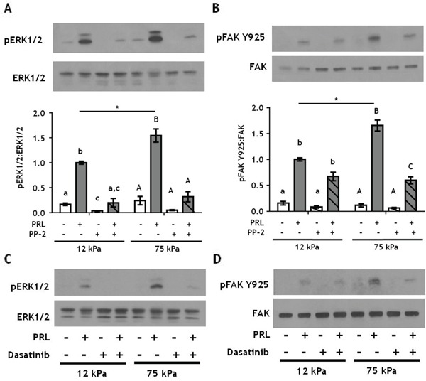 Inhibiting SFKs decreases PRL signals to pFAK Y925 only in stiff environments A-B. T47D cells were plated on 12 or 75 kPa polyacrylamide gels coated with 200 μg/ml collagen-I, serum starved for 24h, then treated with vehicle (−) or SFK inhibitor, PP-2 (+) for 1 h prior to ± PRL (4 nM) for 15 min. Cell lysates were immunoblotted with the indicated antibodies. Top panels: Representative immunoblots. Bottom panels: Quantification of immunoblots by densitometry. Means ± S.E.M. n = 3. Different letters represent significant differences within each stiffness determined by paired t-tests (lower case, 12kPa; upper case, 75kPa), p