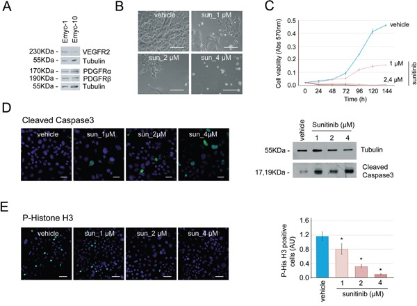 Cells derived from Ela-myc pancreatic tumors are sensitive to sunitinib in vitro A. Analysis by Western blot of the expresssion of the sunitinib-targeted receptors VEGFR2, PDGFR-α and PDGFR–β in two different cell lines derived from Ela-myc pancreatic tumors. B. Bright field images showing Emyc-1 cell sensitivity to different doses of sunitinib (1, 2 or 4 μM) in vitro , as compared to cells treated with vehicle (DMSO). Scale bars, 100 μm. C. MTT experiments were performed to quantify cell viability upon sunitinib treatment (1, 2 or 4 μM) in the Emyc-1 cell line, observing a dose-dependent effect. D. Left, immunofluorescence of cleaved caspase 3, to detect cell apoptosis upon sunitinib treatment (1, 2 or 4 μM). Scale bars, 20 μm. Right, Western blot analysis of the levels of cleaved <t>caspase</t> 3 in Emyc-1 cell line treated with sunitinib. Tubulin levels are shown as the loading control. E. Left, Immunofluorescence of P-Histone H3, to show cell growth arrest upon sunitinib treatment (1, 2 or 4 μM) in Emyc-1 cells. Scale bars, 50 μm. Right, Bar plots showing quantification of P-Histone H3 immunofluorescence experiments on the right. * p