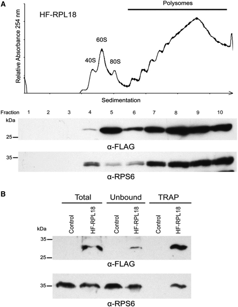 Epitope-tagged rice RPL18 assembles into functional ribosomes that can be purified by TRAP. (A) Confirmation of RPL18 assembly into ribosomes. The p35S:HF-OsRPL18 rice line was used as the source of ribosomal complexes, which were separated by ultracentrifugation on a 20–60% (w/v) sucrose density gradient. The absorbance at 254 nm was recorded to detect the ribosomal subunits of 40S and 60S, monosomes (80S), and polysomes. The gradient was fractionated and proteins in the 10 fractions were analyzed by SDS-PAGE separation and western blotting processed with anti-FLAG (α-FLAG) or anti-RPS6 (α-RPS6) antisera. Molecular mass markers are indicated on the left. (B) Purification of polysomes by TRAP. Equal weights of pulverized tissue from untransformed Nipponbare (control) and homozygous transgenic p35S:HF-OsRPL18 shoots were solubilized in polysome extraction buffer to obtain a clarified supernatant (total). The extract was incubated with anti-FLAG-bound Dynabeads coupled to Protein G to bind HF-RPL18. The supernatant (unbound fraction) was collected to evaluate the efficiency of the immunopurification. The magnetically captured protein–RNA complexes (TRAP fraction) was eluted from the beads using 3X-FLAG peptide. Each fraction was analyzed by western blot with α-FLAG and α-RPS6. The expected molecular mass of HF-RPL18 is 25 kDa. SDS-PAGE, sodium dodecyl sulfate-polyacrylamide gel electrophoresis; TRAP, translating ribosome affinity purification.