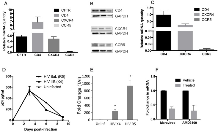NHBE redifferentiated at the ALI express HIV receptors and co-receptors and can support both R5 and X4-tropic infection. Panel A : We analyzed expression of CD4, CCR5 and CXCR4 in NHBE by qRT-PCR. Total RNA was isolated from NHBE ALI cultures and expression of CD4 (Applied Biosystems # HS01058407-m1), CXCR4 (Applied Biosystems # HS00607978-s1) and CCR5 (Applied Biosystems # HS99999149-s1) was determined by qRT-PCR using Taqman probes. CFTR (Applied Biosystems # HS00357011-m1) expression was determined for comparison. NHBE ALI cultures express all canonical HIV receptors. Panel B : Western blot analysis from three different lungs demonstrates that NHBE ALI cultures show comparable expression of all HIV receptors. While RNA levels were significantly lower for CCR5 than CD4 and CXCR4, protein levels were comparable with CD4 and CXCR4. This could be due to inherent CCR5 mRNA instability due to a pseudoknot structure in the mRNA that promotes non-sense mediated decay [ 35 ]. Panel C : To determine if bronchial epithelial cells express HIV receptors and co-receptors in vivo, Bronchial brushings were analyzed for expression of CD4, CCR5 and CXCR4 by qRT-PCR. Expression patterns of the three receptors were similar to that observed in our ex vivo model with maximal expression of CD4 followed by CXCR4 and significantly lower CCR5 expression validating the physiological relevance of our ex vivo NHBE ALI culture model. Panel D and E : NHBE ALI cultures can be infected with both R5 and X4-tropic strains of HIV. NHBE cultures redifferentiated at the Air-Liquid Interface were infected apically and basolaterally with either HIV IIIB (X4-tropic) or HIV BaL (R5-tropic) strains. After 16 hours cells were washed apically and basolaterally with PBS four times to remove any residual input virus. The fourth wash was collected for p24 analysis and measured as Day 0 to confirm that all input virus had been removed. No p24 was detected in the 4 th wash (Day 0) confirming that all input virus had been removed. We observe an initial spike in p24 output on Day 3 for both HIV IIIB and HIV BaL infections that declines gradually till Day 9 (panel D). Experiments were terminated and total RNA was isolated and cell associated HIV RNA was quantitated by qRT-PCR using Taqman probe (Applied Biosystems # PA03453409-s1). NHBE cells demonstrate cell associated viral RNA for both R5 and X4-tropic infections (panel E). Panel F : Another set of NHBE ALI cultures similarly infected in presence of with maraviroc (For HIV BaL infection) or AMD3100 (for HIV IIIB infection) which was retained for the remainder of the experiment. Maravoiroc was able to block infection of NHBE ALI cultures by the R5-tropic strain HIV BaL. Likewise, AMD3100 was able to block infection by the X4-tropic strain HIV IIIB. n = NHBE ALI cultures from 3 different lungs * = significant (p