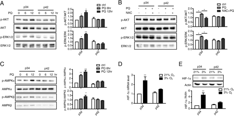 Moderate ROS generation in young cells activates signaling pathways. (A) p-AKT, AKT, p-ERK and ERK protein levels in p34 and p42 cells in response to PQ treatment were assessed by performing Western blotting at the indicated times. p-AKT and p-ERK levels were normalized to AKT and ERK levels, respectively. (B) p-AKT, AKT, p-ERK and t-ERK protein levels in p34 and p42 cells treated with PQ for 12 h in the presence or absence of the antioxidant NAC (Sigma) were determined by performing Western blotting. p-AKT and p-ERK levels were normalized to AKT and ERK levels, respectively. (C) p-AMPKα, AMPKα, p-AMPKβ and AMPKβ protein levels in p34 and p42 cells in response to PQ treatment were assessed by performing Western blotting at the indicated times. p-AMPKα and p-AMPKβ levels were normalized to AMPKα and p-AMPKβ levels, respectively. (D) HIF-1α levels were determined by performing qRT-PCR on p34 and p42 cells under normoxia (21% O 2 ) or hypoxia (3% O 2 ). (E) HIF-1α protein levels were determined by performing Western blotting under normoxia or hypoxia and normalized to Actin levels.