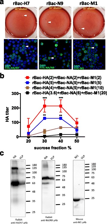 Expression and characterization of H7N9 VLP. a The viral titers of three recombinant baculoviruses were determined by plaque assay. The titer of recombinant baculovirus-HA (rBac-HA) was approxmiately 6 × 10 6 PFU/ml ( left ), the rBac-NA 3 × 10 7 PFU/ml (center), and the rBac-M1 1.1 × 10 8 PFU/ml ( right ). The protein expression of HA, NA, and M1 was identified respectively by immunofluorescence assay (lower panel). b Sf9 cells were co-infected with rBac-HA, rBac-NA, and rBac-M1 under various MOI combinations, and the VLPs were purified via sucrose gradient centrifugation. Formulation derived from the combinations of rBac-HA (MOI 2), rBac-NA (MOI 2), and rBac-M1 (MOI 2) co-infection exhibited the highest HA activity. c H7N9 VLP, H7/HA protein, N9/NA protein, and M1 proteins were detected by Western blot