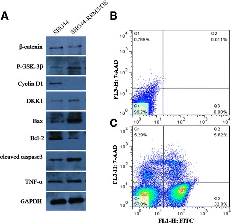 RBM5 inactivated Wnt/β-catenin signaling and induced apoptosis in SHG44 cells. Proteins were extracted from SHG44 cells with or without RBM5 overexpression. a Expression of β-catenin, P-GSK-3β, Cyclin D1, DKK1, Bax, Bcl-2, cleaved caspase3, and TNF-α were determined by western blot. GAPDH was used internal control. b FACS analysis of the apoptotic rate of SHG44 cells without RBM5 overexpression. c FACS analysis of the apoptotic rate of SHG44 cells with RBM5 overexpression. All experiments were repeated in triplicates. * P