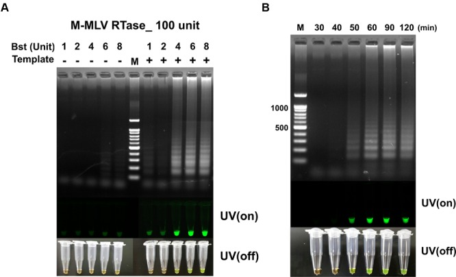 (A) The RT-LAMP detection results based on different ratios of Bst polymerase and M-MLV reverse transcriptase concentration (100 unit). Concentration of Bst polymerse is 1, 2, 4, 6, and 8 units. (B) Effect of reaction time for RT-LAMP reaction. DNA ladder-like pattern was confirmed by 2% agarose gel electrophoresis. LAMP products detected by adding 1,000X SYBR-green I when the reaction was completed (UV/on and off). Land M: 100 bp DNA ladders; - depicts tube used as negative control, non-template; + indicates the results with template.