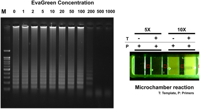EvaGreen activity for RT-LAMP. Resultant microchamber devices following the loop-mediated isothermal amplification (LAMP) reaction with EvaGreen (5 and 10X) under UV (On). DNA ladder-like LAMP amplification pattern was confirmed by 2% agarose gel electrophoresis. T: template; P: LAMP-primers. The fluorescence backgrounds were shown as red-squares.