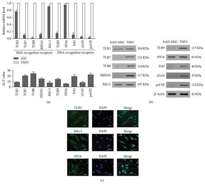 Expression of PRRs recognized viral RNA and DNA. (a) Total RNA was extracted from human adipose-derived mesenchymal stem cells (hAD-MSCs) and THP1 cell lines (THP1). Relative mRNA levels of PRRs recognized viral RNA nucleic acids, including TLR3, TLR7, TLR8, MDA5, and RIG-I, and RPRs recognized viral DNA nucleic acids, including TLR9, IFI16, DAI, cGAS, and polIII, were examined using real-time PCR by normalizing to GAPDH in the upper panel. The ΔCt values of genes expression in hAD-MSCs were shown in the lower panel. (b) The protein level of PRRs recognized viral nucleic acids in hAD-MSCs and THP1 were determined by Western blot using specific antibodies. β -Actin was used as loading control. (c) Distribution of TLR3, RIG-I, and IFI16. Indirect immunofluorescence staining using specific antibody, respectively, against TLR3, RIG-I, and IFI16 was performed in hAD-MSCs (left panels). The cells were staining with DAPI (middle panels). Images of TLR3, RIG-I, and IFI16 and DAPI staining were merged, respectively (right panels). Data are present as the mean ± SEM of three experiments. Images represent at least three experiments. Scale bar = 20 μ m.