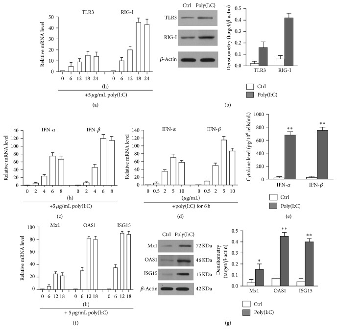 Poly(I:C)-induced immune responses. (a) Upregulation of TLR3 and RIG-I. hAD-MSCs were stimulated with 5 μ g/mL poly(I:C) at indicated time. Relative mRNA levels of TLR3 and RIG-I were determined by real-time RCR at different time points. (b) The protein levels of TLR3 and RIG-I were determined by Western blot. hAD-MSCs were lysed 24 h after poly(I:C) stimulation. β -Actin was used as loading controls. (c) Poly(I:C) induced the expression of IFN- α and IFN- β in a time-dependent manner. Total RNA was extracted from hAD-MSCs, which were stimulated 5 μ g/mL poly(I:C) in different time. Relative mRNA levels of IFN- α and IFN- β were determined using real-time PCR by normalizing to β -actin. (d) Poly(I:C) induced the expression of IFN- α and IFN- β in a dose-dependent manner. Total RNA were stimulated with the indicated dose of poly(I:C) for 6 h. Relative mRNA levels of IFN- α and IFN- β were determined by real-time PCR. (e) The secretion of IFN- α and IFN- β . hAD-MSCs were stimulated with poly(I:C). The expression levels of IFN- α and IFN- β in culture medium were measured by ELISA. (f) Expression of antiviral proteins in mRNA level. Total RNA was extracted from hAD-MSCs at the different time points after poly(I:C) stimulation. Relative mRNA levels of Mx1, OAS1, and ISG15 were determined using real-time PCR. (g) Expression of antiviral proteins in protein levels. The cell lysates of hAD-MSCs were to probe antiviral proteins by Western blot using specific antibodies after stimulation with poly(I:C) 24 h. The cells treated with LyoVec along served as control (Ctrl). Western blot images are representatives of at least three experiments. Data are presented as the mean ± SEM of three experiments. ∗ P