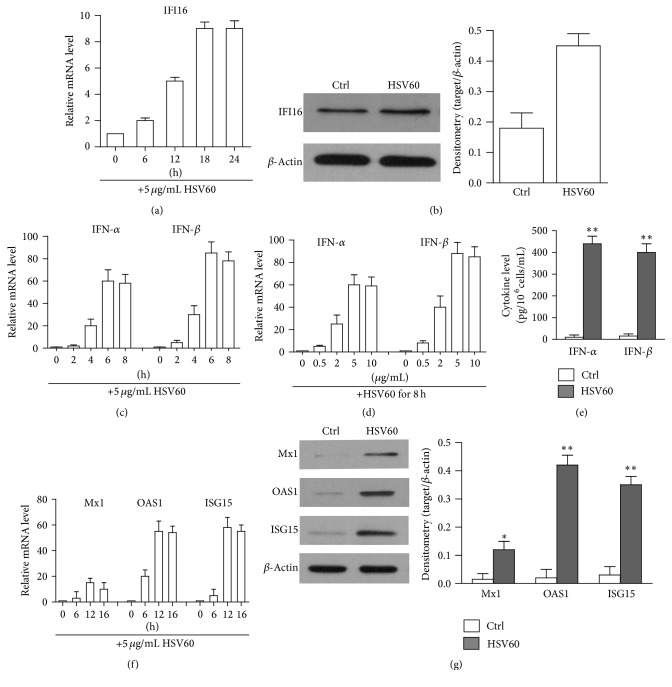 HSV60-induced immune responses. (a) Upregulation of IFI16. hAD-MSCs were stimulated with 5 μ g/mL HSV60 at indicated time points. Relative mRNA levels of IFI16 were determined by real-time PCR. (b) The protein levels of IFI16 were determined by Western blot. hAD-MSCs were lysed 24 h after HSV60 stimulation. β -Actin was used as loading control. (c) Time-dependent IFN- α and IFN- β expression. Total mRNA was extracted from hAD-MSCs at the indicated time points post HSV60 stimulation. Relative mRNA levels of IFN- α and IFN- β were determined using real-time PCR by normalizing to β -actin. (d) Dose-dependent IFN- α and IFN- β expression. hAD-MSCs were stimulated with indicated dose of HSV60 for 6 h. Relative mRNA levels of IFN- α and IFN- β were determined by real-time PCR. (e) IFN- α and IFN- β secretion. hAD-MSCs were stimulated with HSV60. After 24 h, IFN- α and IFN- β levels in culture medium were measured using ELISA. (f) Expression of antiviral proteins in mRNA levels after HSV60 stimulation. Total RNA was extracted from hAD-MSCs at the different times points after stimulation with HSV60. Relative mRNA levels of ISG15, OAS1, and Mx1 were determined using real-time PCR. (g) Expression of antiviral proteins in protein levels. hAD-MSCs were stimulated with HSV60. After 24 h, the cell lysates were extracted to Western blot to probe antiviral proteins. The cells treated with LyoVec alone served as Ctrl. Western blot images represent at least three experiments. Data are presented as the mean ± SEM of three experiments. ∗ P