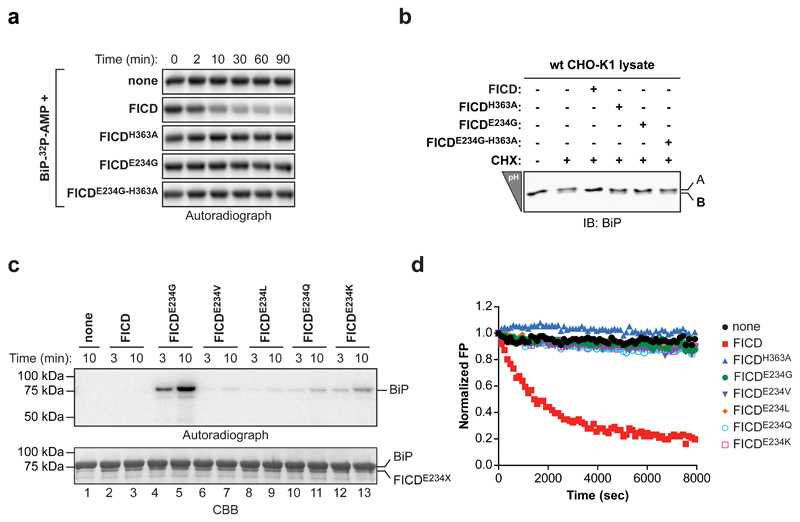 FICD de-AMPylates BiP in vitro ( a ) Autoradiograph of an SDS-PAGE gel loaded with AMPylated BiP (BiP- 32 P-AMP) that had been exposed to wildtype of mutant FICD for the indicated time Wildtype FICD-dependent de-AMPylation of BiP- 32 P-AMP was observed in four independent experiments. ( b ) IEF immunoblots of endogenous BiP from lysates of untreated or cycloheximide-treated (CHX) CHO-K1 cells that had been reacted in vitro with the indicated FICD enzymes. ( c ) Autoradiograph and Coomassie stain (CBB) of an SDS-PAGE gel of BiP after exposure to wildtype or mutant versions of FICD in presence of α- 32 <t>P-ATP.</t> A representative of three independent experiments is shown ( n = 3). ( d ) Time-dependent plot of fluorescence polarization (FP) of BiP AMPylated with FAM-labeled AMP (BiP T518-AMP-FAM ) following exposure to the indicated FICD proteins. The decrease in the FP signal reflects release of the fluorophore from BiP. A representative of five independent experiments is shown ( n = 5). Uncropped autoradiograph, gel and blot images are shown in Supplementary Data Set 1 .