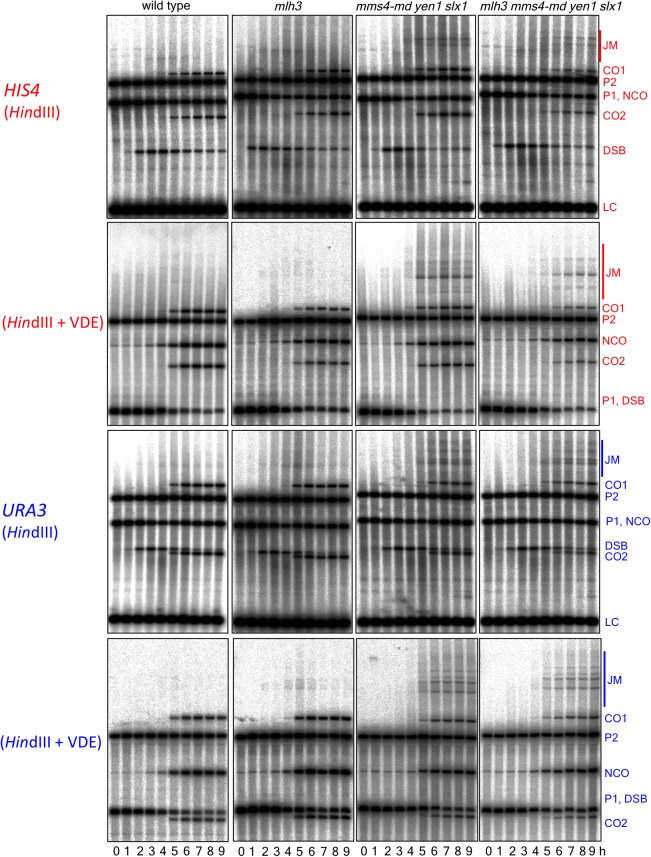 Southern blots of Hin dIII and Hin dIII-VDE digests of DNA from HIS4 insert-containing strains (top) and from URA3 insert-contaning strains (bottom). Probes and gel labels are as in Figure 1 ; JM—joint molecule recombination intermediates. DOI: http://dx.doi.org/10.7554/eLife.19669.009