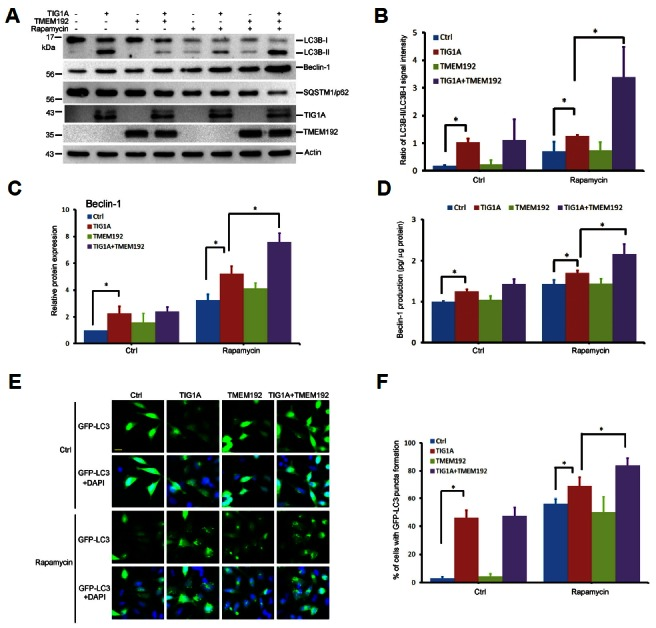 TIG1A induced the expression of autophagy-related proteins. HtTA cells plated in a 6-cm dish were transfected with 1.5 μg of TMEM192-Flag expression vector along with 1.5 μg of TIG1A-myc expression vector for 24 h. Cells were refreshed in medium without serum and treated with 200 nM rapamycin for 6 h. Cell lysates were prepared, and the levels of LC-3B, Beclin-1, SQSTM1/p62, TIG1A, and actin were determined by immunoblotting (A). Experimental results are summarized as the mean percentage (± SD) of the ratio of LC3B-II to LC3B-I and the level of Beclin-1 with each sample normalized to the level of actin protein in two independent experiments (B, C). HtTA cells plated in 6-well dishes were transfected with 0.5 μg of the indicated vectors or the control vector for 24 h and were then cultured in serum-free medium with 200 nM rapamycin for 6 h. Cell lysates were prepared, and the level of Beclin-1 was detected using an enzyme immunoassay. Representative results of three independent experiments are shown (D). HtTA cells plated in triplicate in 24-well plates were transfected with 75 ng of TIG1A-myc expression vector, 75 ng of TMEM192-Flag expression vector and 150 ng of pGFP-LC3 expression vector for 24 h. Cells were refreshed in medium without serum and treated with 400 nM rapamycin for 6 h. Representative images with GFP-LC3 puncta formation (E). Bar chart indicating the percentage of cells with GFP-LC3 puncta formation from three independent experiments (F). Scale bar, 10 μm. *Indicates p value