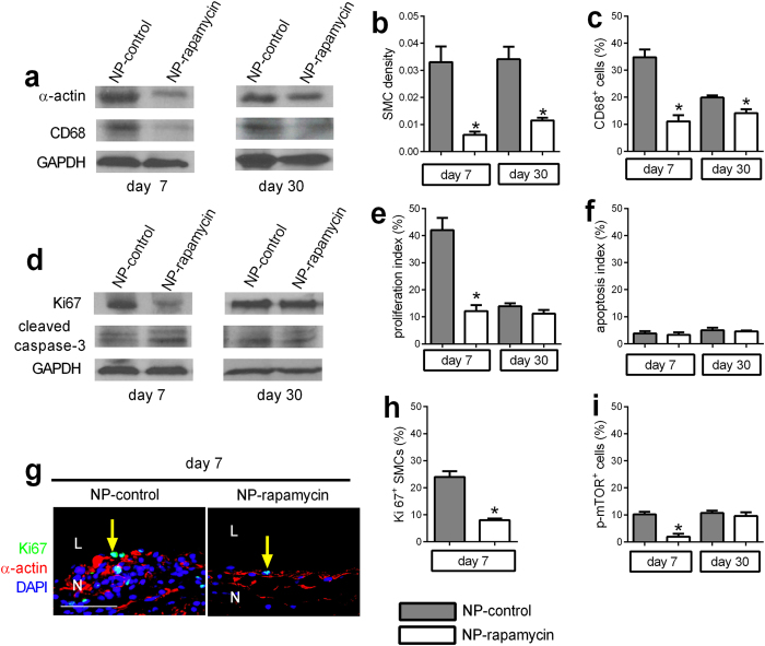 NP-rapamycin inhibits SMC and macrophage infiltration and proliferation. ( a ) Representative Western blot showing expression of α-actin, CD68 and GAPDH in NP-control or NP-rapamycin-eluting patch neointimas at day 7 or day 30; n = 3. ( b ) Bar graph showing SMC density. *p