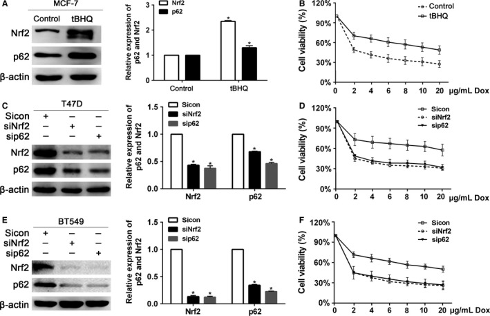 The sensitivity of breast cancer cells to doxorubicin regulated by Nrf2 and p62. (A) The protein levels of Nrf2 and p62 were determined by western blot in MCF ‐7 cells after pretreated with 40 μ mol/L tBHQ for 24 h. (B) The tBHQ ‐pretreated cells were treated with the indicated doses of doxorubicin for 24 h, followed by the CCK 8 assay. (C) Protein levels of Nrf2 and p62 were determined by western blot in T47D cells infected with Nrf2 sh RNA or p62 sh RNA lentivirus. (D) T47D cells infected with Nrf2 sh RNA or p62 sh RNA lentivirus were treated with the indicated doses of doxorubicin for 24 h, followed by the CCK 8 assay. (E) Protein levels of Nrf2 and p62 were determined by western blot in BT 459 cells infected with Nrf2 sh RNA or p62 sh RNA lentivirus. (D) BT 549 cells infected with Nrf2 sh RNA or p62 sh RNA lentivirus were treated with the indicated doses of doxorubicin for 24 h, followed by the CCK 8 assay. Data are presented as mean ± SD , n = 3, * P