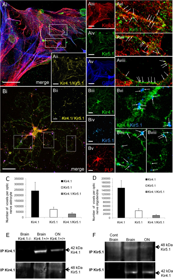 Co-expression of Kir4.1 and Kir5.1 in optic nerve oligodendrocytes and astrocytes. Co-immunolocalization of Kir4.1 and Kir5.1 in optic nerve explant cultures, in astrocytes identified by GFAP immunolabelling ( A ) and oligodendrocytes identified by PLP-DsRED ( B ). The overlay and individual channels are illustrated, together with the co-localisation channel for Kir4.1/Kir5.1 ( Aii, Bii ). Boxed areas on overlay images ( Ai , Bi ) are enlarged in Avi – Aviii and Bvi – Bviii , to illustrate punctate colocalization of Kir4.1 and Kir5.1 along processes (some indicated by arrows ). Scale bars 20 μm. Quantification of the number of voxels that were positive for Kir4.1 and Kir5.1 alone and of Kir4.1/Kir5.1 together, in astrocytes ( C , n = 15) and oligodendrocytes ( D , n = 13); data are mean ± SEM. Co-immunoprecipitation of Kir4.1 with Kir5.1 ( E ) and of Kir5.1 with Kir4.1 ( F ) from total brain and optic nerve (ON) lysates; negative controls were Kir4.1 knock-out mice (−/−) for Kir4.1, and using the blocking peptide for Kir5.1