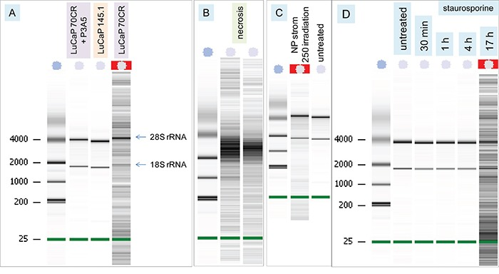 DNA fragmentation of AGR2-treated cells A. Bioanalyzer traces show the nucleic acid patterns of cultures listed on the top. The ribosomal RNA species are indicated. The left lane contains size standards. B. Traces show the patterns of necrotic NP strom cells. C. Traces compare the patterns of UV-irradiated (label 250 denotes 25 mJ/cm 2 ) NP strom cells and untreated cells. D. Traces show the time course of staurosporine treatment.