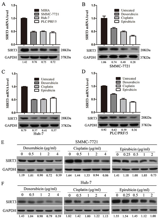 Chemotherapeutic agents inhibited SIRT3 expression in HCC cells A. SIRT3 expression in three HCC cell lines (SMMC-7721, Huh-7 and PLC/PRF/5) and one immortalized liver cell line (MIHA) by using qPCR and western blotting analysis. β-actin mRNA expression was used as an internal control for qPCR. GAPDH was used as a loading control in western blotting analysis. B-D. Chemotherapeutic agents (doxorubicin, cisplatin and epirubicin) inhibited SIRT3 expression. SMMC-7721(B), Huh-7(C) and PLC/PRF/5 (D) cells were treated with doxorubicin (1 μg/ml), cisplatin (1 μg/ml) or epirubicin (0.5 μg/ml) for 48 h before subjected to qPCR and western blotting analysis. E-F. The expression of SIRT3 was examined in SMMC-7721 and Huh-7 cells treated with various concentrations of chemotherapeutic agents (doxorubicin, cisplatin and epirubicin) by using western blotting analysis. GAPDH was used as a loading control.