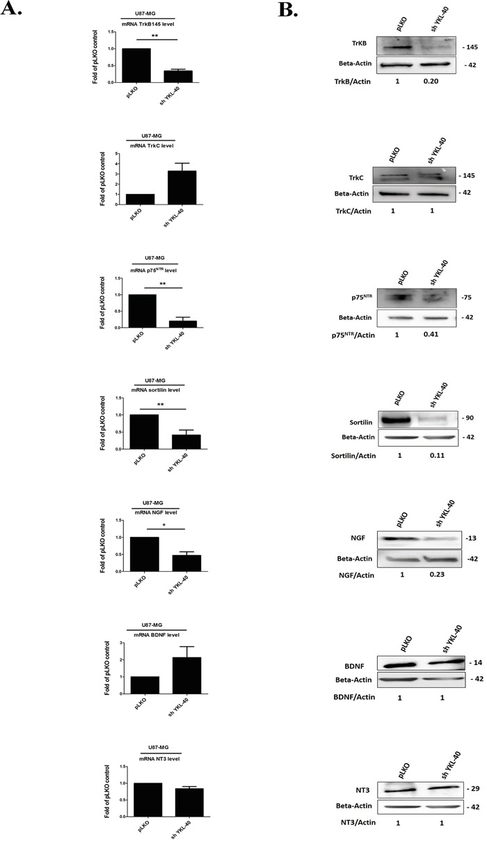 Expressions of neurotrophins and its receptors are modulated by YKL-40 expression level in cells A. Analyses of changes in mRNA expression were achieved on different neurotrophin receptors, TrkB, TrkC, p75 NTR and co-receptor sortilin, NGF, BDNF and NT-3 by real time PCR in pLKO and sh YKL-40 cells. mRNA values represent fold-change (mean ± SD of three independent experiments) relative to mRNA levels corresponding to pLKO -transfected cells as controls (Student's t-test, * P
