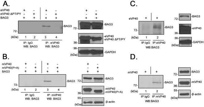 BAG3 interacts with eVP40 in a PPxY-dependent manner. A) Extracts from HEK293T cells transfected with eVP40 or eVP40-ΔPT/PY plus BAG3-WT were first immunoprecipitated (IP) with either normal rabbit IgG or polyclonal anti-eVP40 antisera as indicated. BAG3 was detected in the precipitates by Western blot (WB) using mouse anti- myc antiserum. Expression controls for eVP40-WT, eVP40-ΔPT/PY, His-myc-tagged BAG3 and GAPDH are shown. B) Extracts from HEK293T cells transfected with Flag-tagged mVP40 or mVP40(P > A) plus BAG3-WT were first immunoprecipitated (IP) with either normal mouse IgG or anti-Flag antisera as indicated. BAG3 was detected in the precipitates by Western blot (WB) using rabbit anti-His antiserum. Expression controls for mVP40, mVP40(P > A), His-myc-tagged BAG3 and β-actin are shown. C) Extracts from HEK293T cells transfected with eVP40-WT alone were first immunoprecipitated with either normal rabbit IgG or polyclonal anti-eVP40 antisera as indicated. Endogenous BAG3 was detected in the precipitates by Western blot using polyclonal anti-BAG3 antiserum. Expression controls for eVP40-WT, endogenous BAG3, and GAPDH are shown. D) Extracts from HEK293T cells transfected with mVP40-WT alone were first immunoprecipitated with either normal rabbit IgG or anti-mVP40 antisera as indicated. Endogenous BAG3 was detected in the precipitates by Western blot using polyclonal anti-BAG3 antiserum. Expression controls for mVP40-WT, endogenous BAG3, and β-actin are shown.