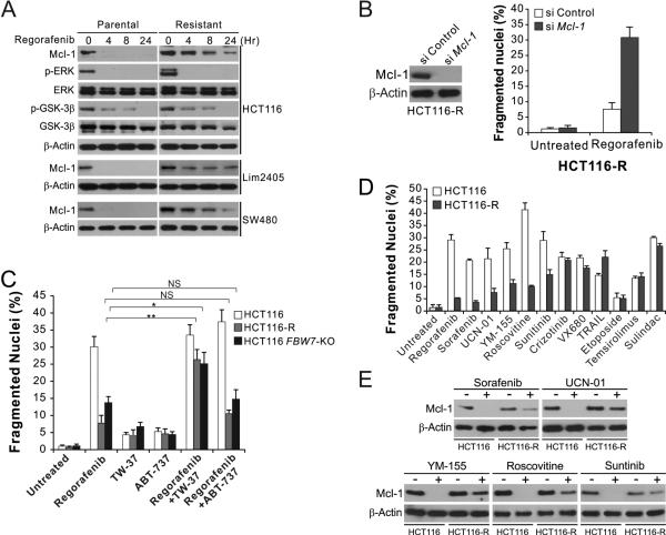 Regorafenib-resistant cells are re-sensitized by Mcl-1 inhibition, and cross-resistant to other anticancer agents that induce Mcl-1 degradation (A) Western blotting of indicated proteins in parental and regorafenib-resistant HCT116, Lim2405 and SW480 cells treated with 40 μM regorafenib at indicated time points. p-ERK: Thr202/Tyr204; p-GSK3β: Ser9. (B) HCT116-R cells transfected with control or Mcl-1 siRNA were treated with 40 μM regorafenib for 48 hr. Left , western blot analysis of Mcl-1 knockdown; right , analysis of apoptosis by counting condensed and fragmented nuclei after nuclear staining. (C) HCT116-R cells were treated for 48 hr with 40 μM regorafenib alone or in combination with 1 μM of the Mcl-1 inhibitor TW-37 or the Bcl-2/Bcl-X L inhibitor ABT-737. Apoptosis was analyzed as in (B). (D) Parental and regorafenib-resistant HCT116 cells were treated with 40 μM regorafenib, 20 μM sorafenib, 1 μM UCN-01, 1 μM YM-155, 10 μM roscovitine, 15 μM sunitinib, 10 μM crizotinib, 10 nM TRAIL, 10 μM VX680, 20 μM etoposide, 20 μM temsirolimus, or 120 μM sulindac sulfide for 48 hr. Apoptosis was analyzed as in (B). (E) Western blotting of Mcl-1 in parental and regorafenib-resistant HCT116 cells treated with indicated agents as in (D) for 24 hr. Results in (B)-(D) represent the means ± s.d. of three independent experiments. NS, P > 0.05; *, P
