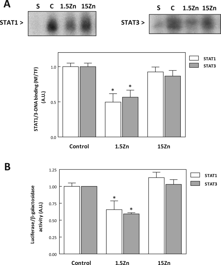 Zinc deficiency affects nuclear STAT1- and STAT3-DNA binding, and transactivation of STAT1 and STAT3-dependent genes in IMR-32 cells . Nuclear and total cell fractions were isolated after incubating IMR-32 cells for 24 h in control medium (C), or in chelated medium containing 1.5 μM zinc (1.5Zn), or 15 μM zinc (15Zn). (A) Representative image of an EMSA for STAT1 and STAT3 in nuclear fractions (top). A control nuclear fraction was incubated in the presence of a 100-fold molar excess of unlabeled oligonucleotide containing the consensus sequence for aspecific (S) transcription factor before the binding assay. Bands were quantified, results expressed as the ratio nuclear/total fraction binding (NF/TF) for STAT1 (white bars) and STAT3 (grey bars), and normalized to control values. Results are shown as means±S.E.M. of three independent experiments. (B) Transactivation of STAT1- and STAT3-driven luciferase was measured as described in Materials and Methods in cells incubated for 24 h in control, 1.5Zn or 15Zn medium. Data are expressed as the ratio luciferase activity/β-galactosidase activity. Results are shown as means±S.E.M of three independent experiments. *Significantly different compared to the C groups ( P