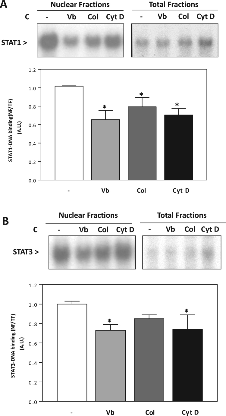 STAT1 and STAT3 require a functional cytoskeleton for nuclear translocation in IMR-32 cells. Nuclear fractions and total fractions were prepared from IMR-32 cells incubated for 24 h in control medium (C) with or without the addition of 0.5 μM vinblastine (Vb), 0.5 μM colchicine (Col), or 0.5 μM cytochalasin D (Cyt D). (A) EMSA for STAT1 in nuclear and total fractions (top), and band quantifications (bottom). (B) EMSA for STAT3 in nuclear and total fractions (top), and band quantifications (bottom). Results were expressed as the ratio nuclear/total fractions of DNA binding (NF/TF) and normalized to their control levels. Results are shown as means±S.E.M. of three independent experiments. *Significantly different compared to C without inhibitors ( P